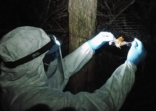 Ученые обнаружили у летучих мышей новый вирус лихорадки Эбола Наука, Новости, Медицина, Эбола, Летучая мышь, Биология