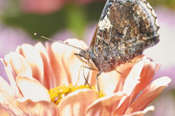 Адмиральское лето Бабочка, Насекомые, Макро, Природа, Чешуекрылые, Длиннопост