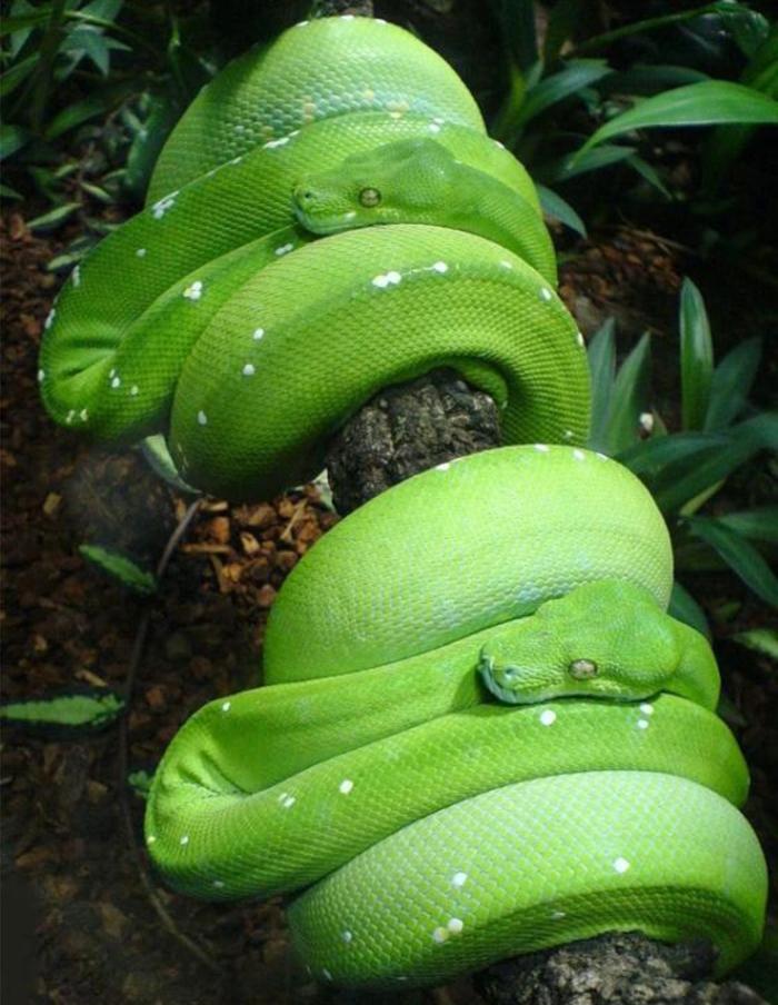 Точнее формулируй желания Юмор, Зелень, Четверостишье, Змея