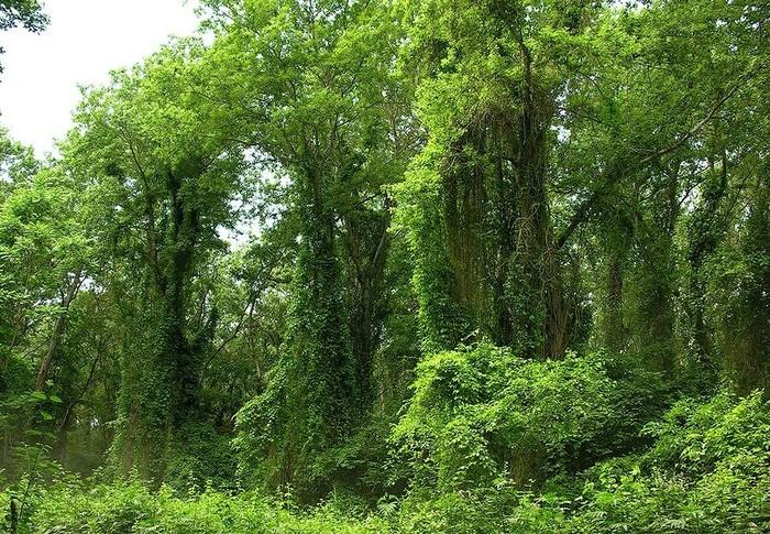 Единственный в России Лиановый лес, Магарамкентский район, республика Дагестан. Интересное, Фотография, Природа, Красота природы, Красота, Дикая природа, Дагестан, Лига фотографов, Длиннопост