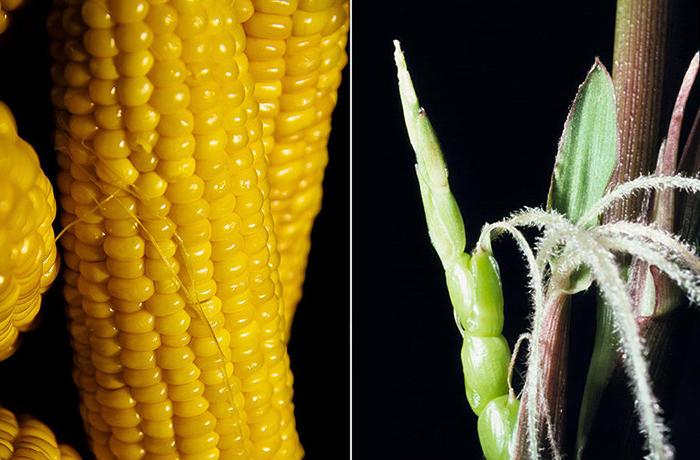 Современные растения и их дикие родственники Растения, Сельское хозяйство, Селекция, Длиннопост