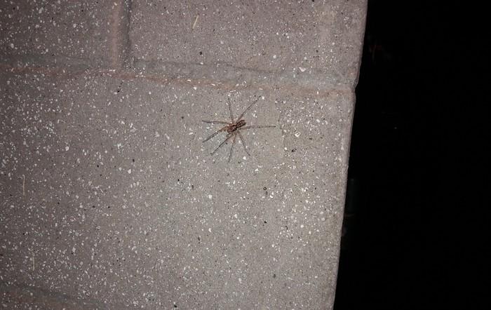 Помогите опознать паучка. Паук, Паукообразные