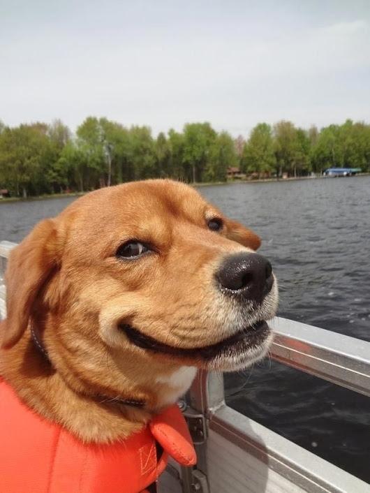 """О чем хотят сказать """"улыбающиеся"""" собаки? Собака, Поведение, Статья, Животные, Дрессировка, Длиннопост"""