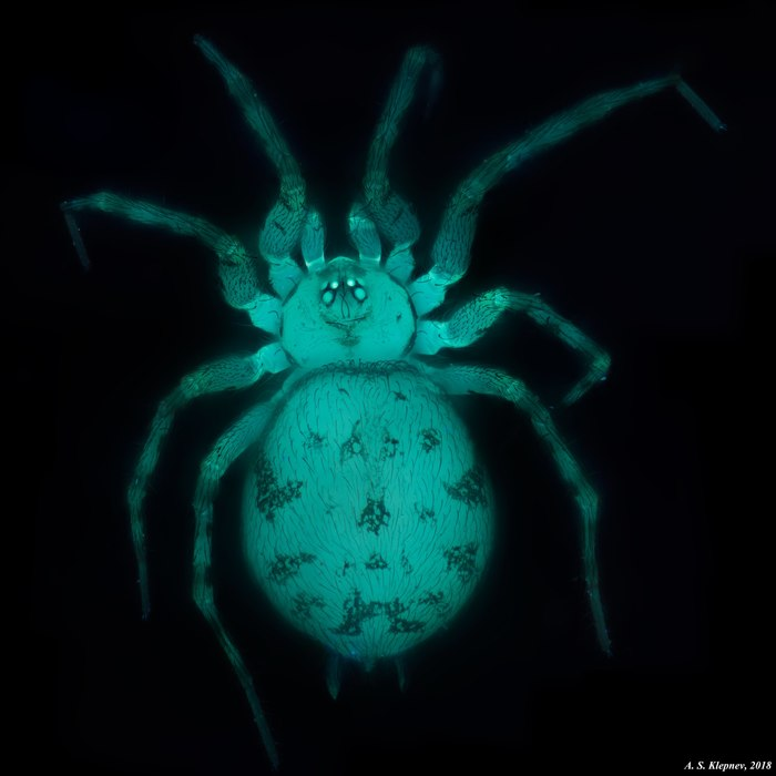 Паук. Автофлуоресцения. Микроскоп, Паук, Автофлуоресценция, Люминесценция