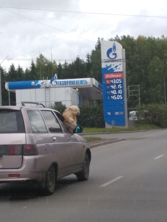 С ветерком Томск, Собака, Изместногопаблика, Длиннопост