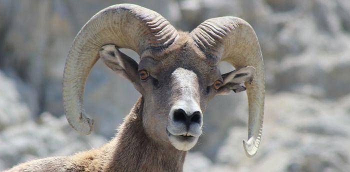 В поисках пропитания даже баранам пришлось обзавестись «культурными традициями» Копытные, Животные, Поведение животных, Миграции животных
