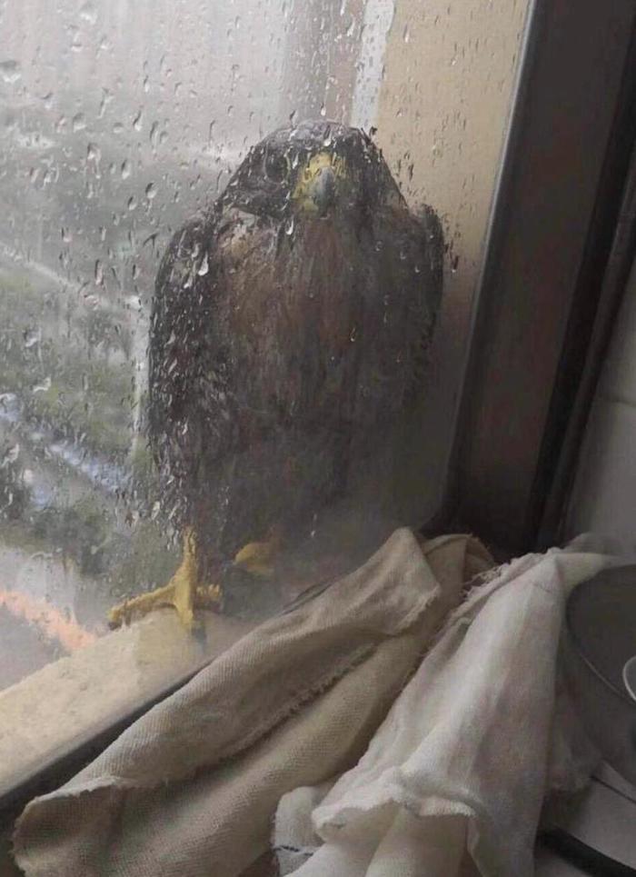 Бедный сокол во время тайфуна в Китае