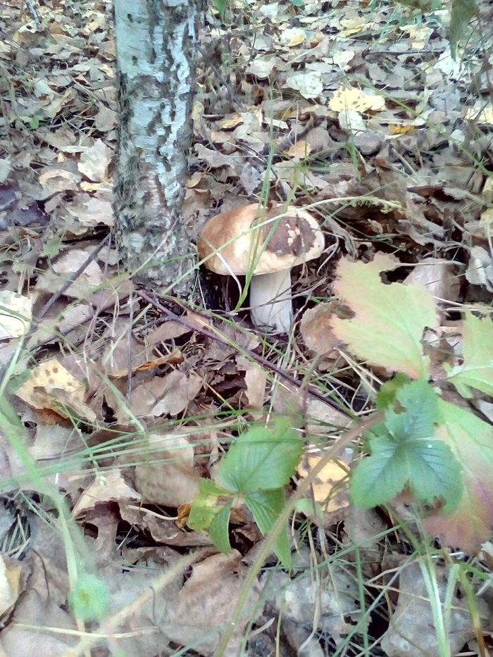 Нашел красавцев Грибы, Белый гриб, Боровики, Дорогие, Лес, Длиннопост