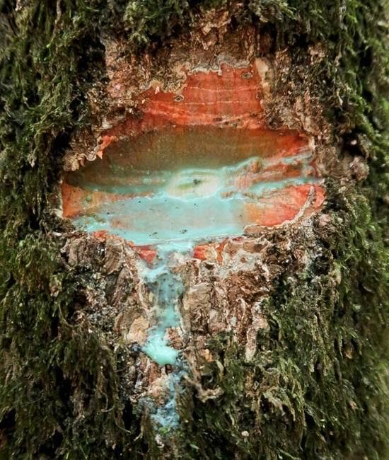 Удивительное дерево, источающее металл Природа, Дерево, Металл, Феномен, Удивительное, Видео, Длиннопост