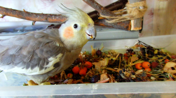 Копошилка - наше все. Птицы, Попугай, Корелла, Чем кормить попугая, Копошилка для попугая, Питание попугая, Длиннопост