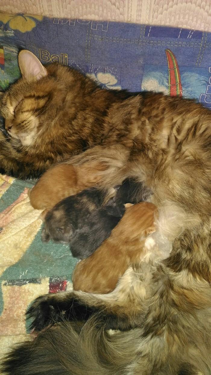 Она была самой маленькой и слабенькой...а стала самой любимой! Кот, Мейн-Кун, Длиннопост, Люблю), Котики цветы жизни