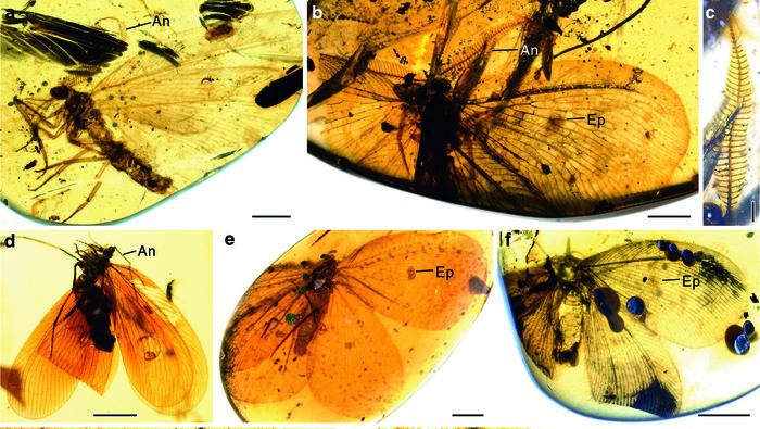 Двойники бабочек из бирманского янтаря отличаются от каллиграмматид, известных по каменным отпечаткам Палеонтология, Янтарь, Насекомые, Конвергенция, Наука, Копипаста, Elementyru, Длиннопост