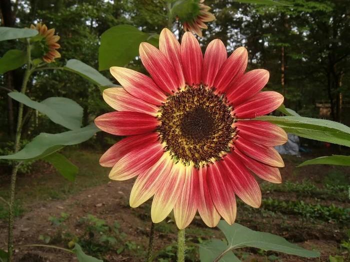 Эти подсолнухи известны как рубиновое затмение подсолнечника. Цветы, Растения, Подсолнух, Интересное, Красота, Фотография, Природа, Красота природы