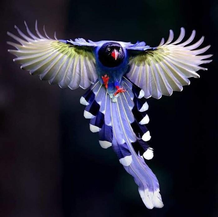 Тайваньская голубая сорока