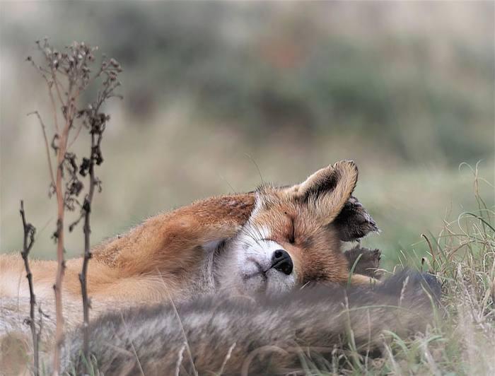 Выходные ^.^ Лиса, Рыжие милости, Животные, Фотография