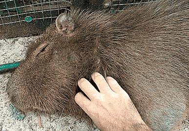 Как я работал в зоопарке, серия первая Зоопарк, Капибара, Тапир, Черепаха, Обезьяна, Волк, Гифка, Длиннопост