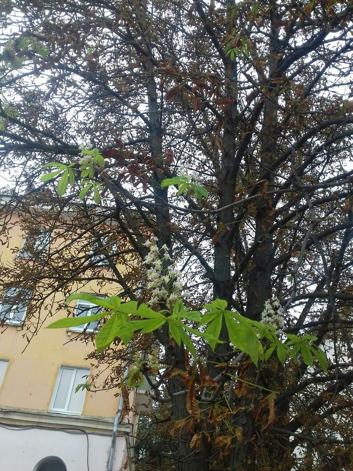Сентябрь. Каштан зацвел Каштан, Цветение, Дерево, Сентябрь, Природная аномалия, Доброе утро, Длиннопост