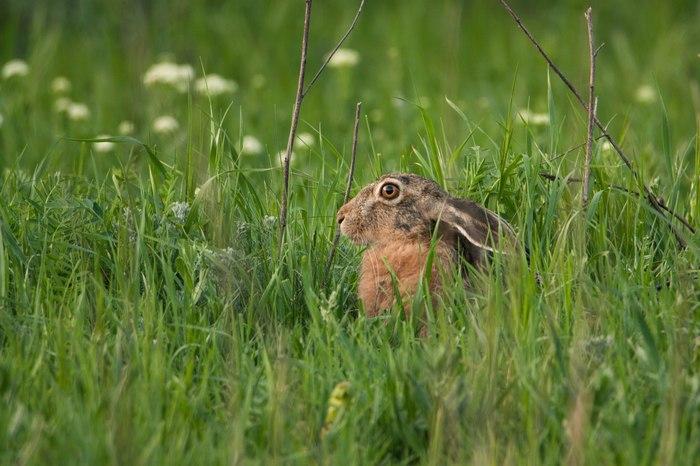 10 интересных фактов о зайцах Моё, Животные, Природа, Заяц, Дикая природа, Фотография