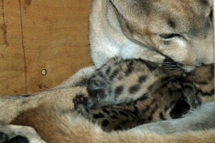 Итог пумской любви. Пензенский зоопарк, Пума, Котята, Детеныш, Длиннопост