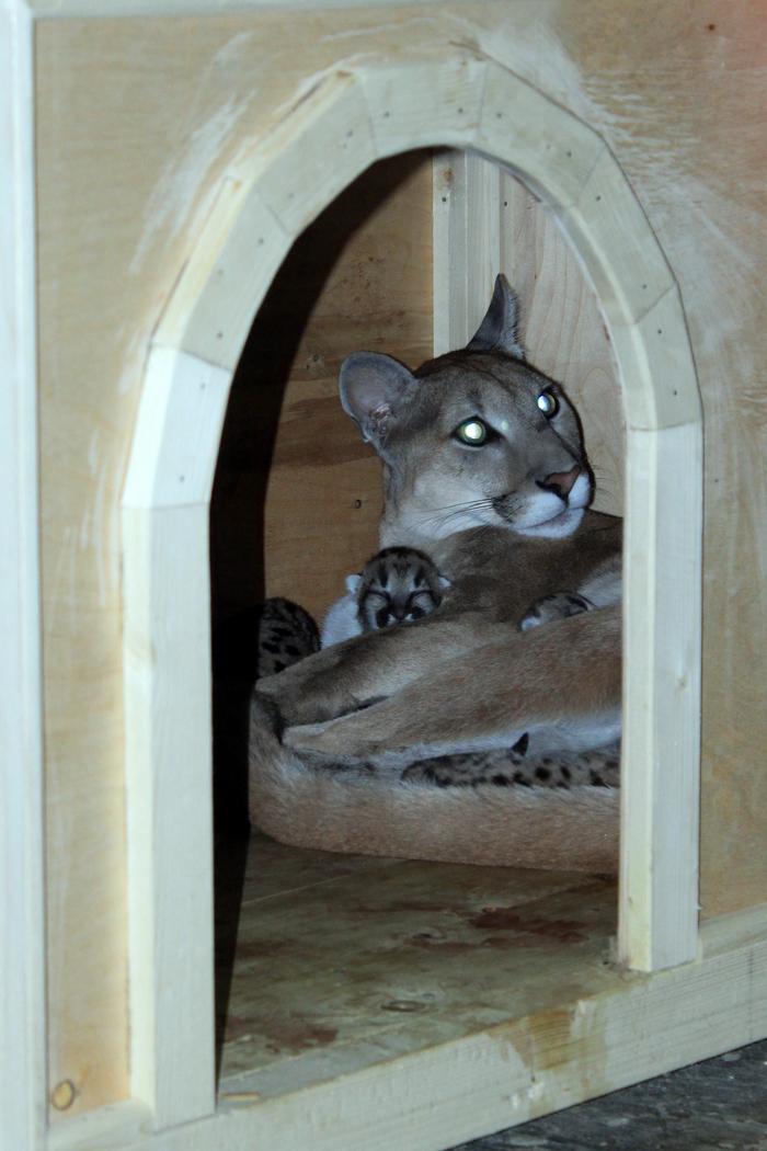 Итог пумской любви. Пензенский зоопарк, Пума, Котята, Детёныши, Длиннопост