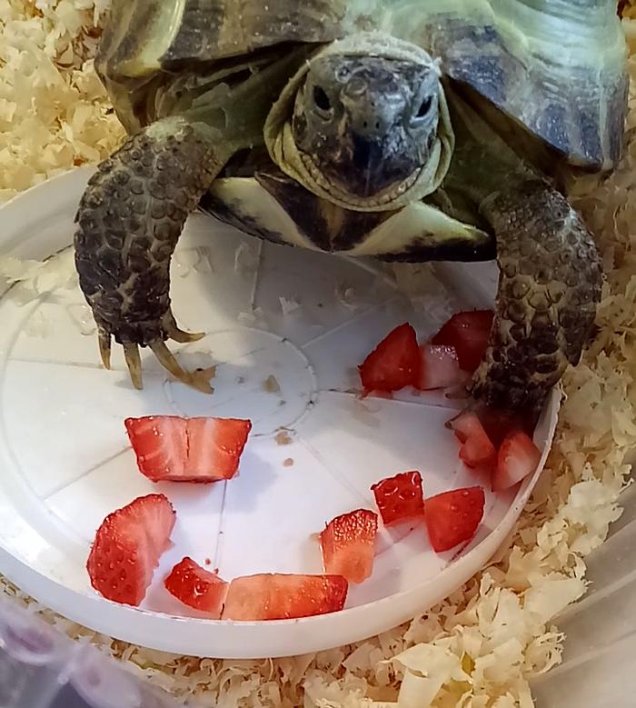 Моя черепашка любит клубнику