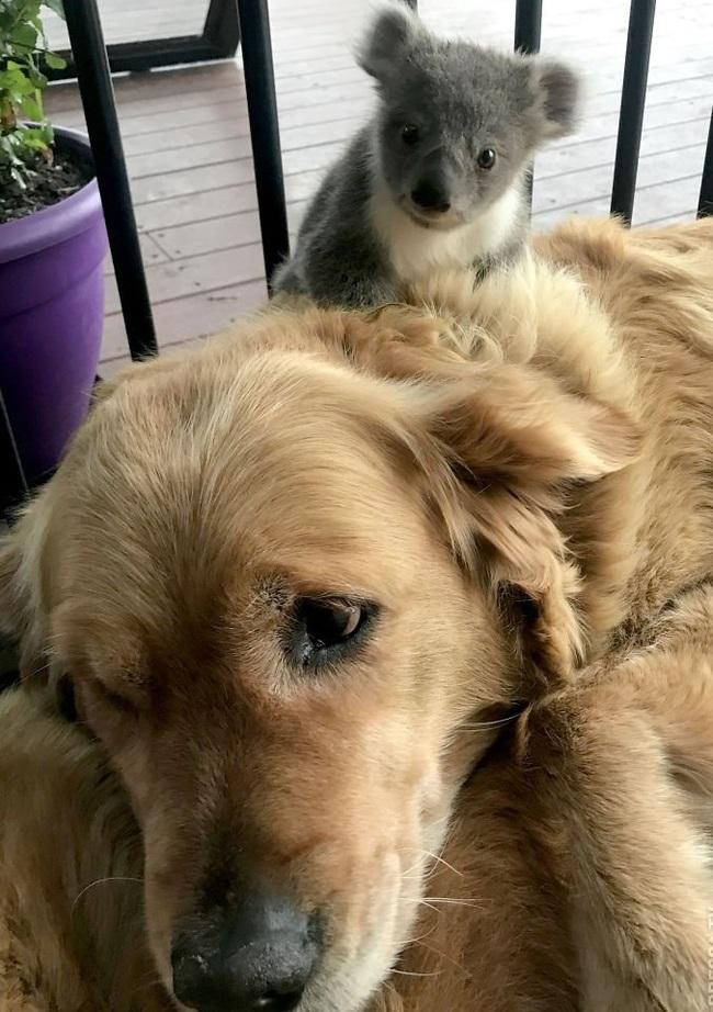 Золотистый ретривер Аша спасла маленькую коалу Собака, Золотистый ретривер, Коала, Животные, Австралия, Длиннопост