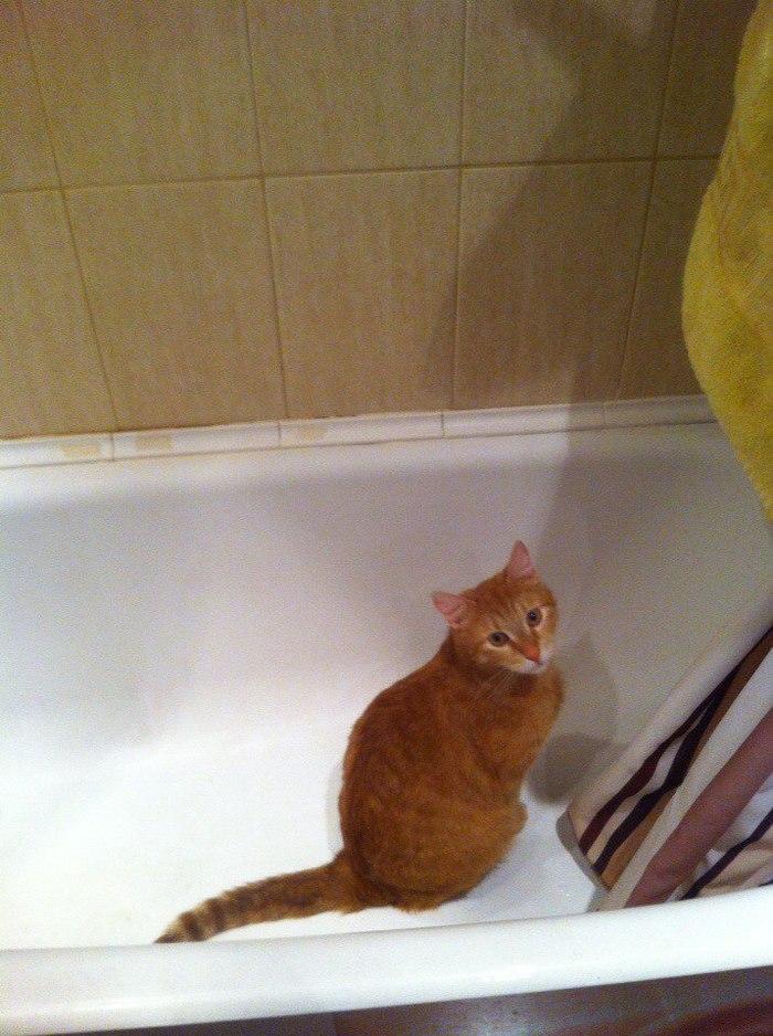 Можно вывезти кота из ванны, но ванну из кота вывести невозможно Кот, Кошачьи привычки, Привычка, Ванна, Рыжая морда, Домашние животные, Длиннопост