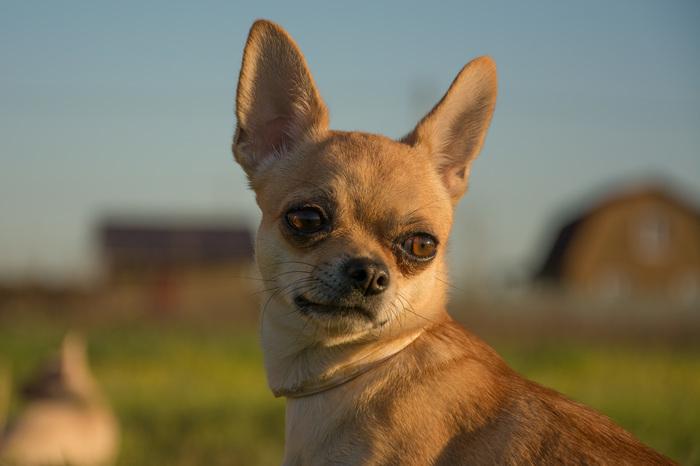 Опять собаки. Собака, Чихуахуа, Многодетная семья, Длиннопост
