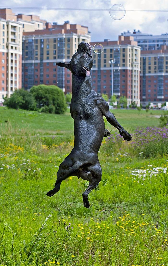Питбуль собака убийца Собака, Питбуль, Мой друг Пит, Друг человека, Бойцовская собака, Моё, Длиннопост