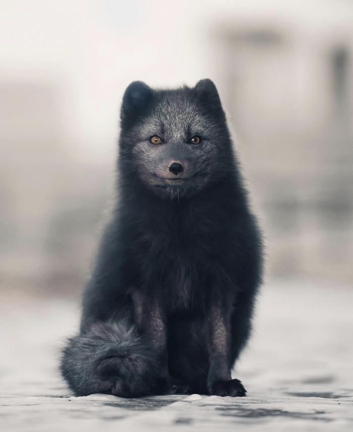 Арктический голубой лис