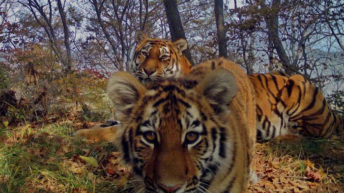 Эти снимки с фотоловушек удивили даже опытных зоологов Фотоловушка, Животные, Леопард, Тигр, Земля Леопарда, Дальний восток, Длиннопост