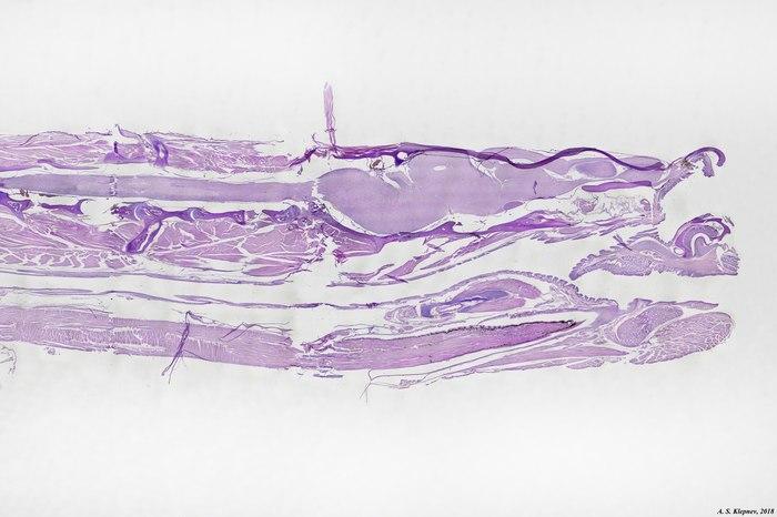 """""""Эволюция"""" гадюки в руках экспериментатора (изготовление гистологического препарата) Гистология, Змея, Длиннопост, Жесть"""