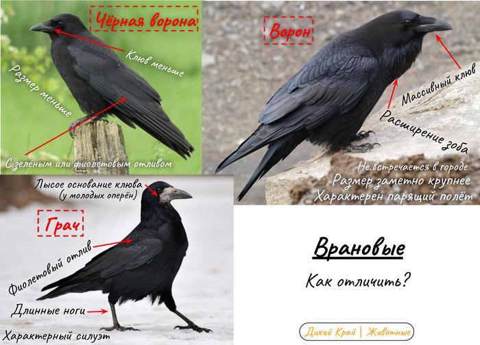 Врановые (лат. Corvidae) Птицы, Животные, Дикие животные, Природа, Интересное, Натуралист