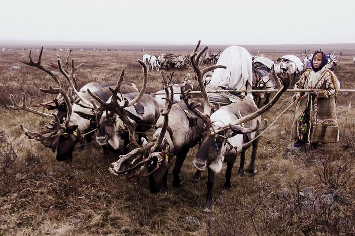 Ханты. Перегон Ханты, Северные олени, ЯНАО