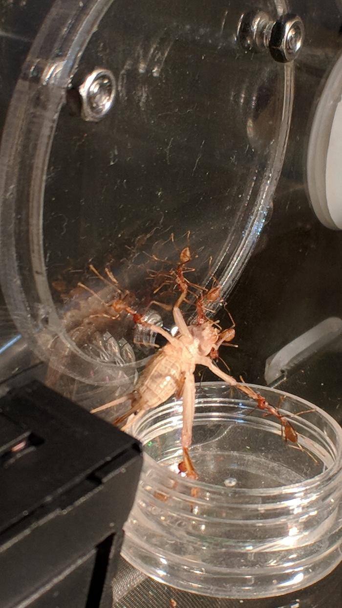 Переезд колонии муравьев-портных в новый дом Муравьи, Мирмикипер, Формикарий, Насекомые, Видео, Фотография, Длиннопост, Муравьиная ферма, Гифка