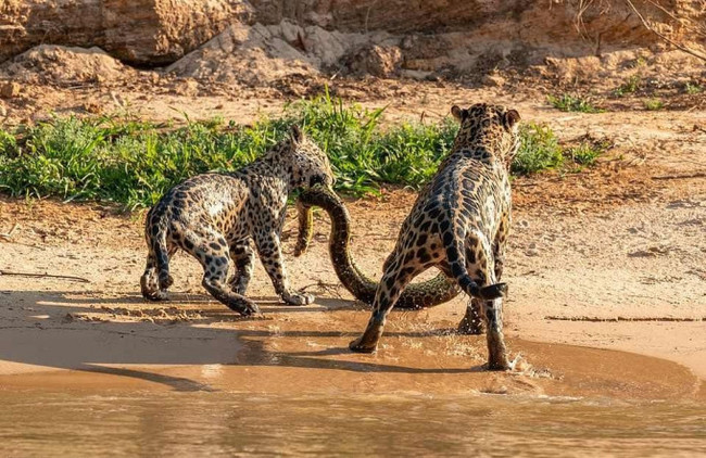 Папа и малыш на рыбалке Большие кошки, Ягуар, Анаконда, Бразилия, Длиннопост
