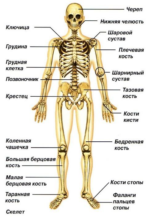 Для тех, у кого кость широкая Спорт, Тренер, Спортивные советы, Похудение, Кость широкая, Питание, Исследование, Скелет, Длиннопост