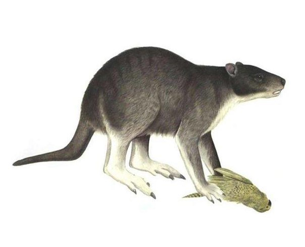 На эволюцию кенгуру повлияло изменение климата Кенгуру, Эволюция, Палеонтология, Австралия, Наука, Животные, Биология, Гифка, Длиннопост
