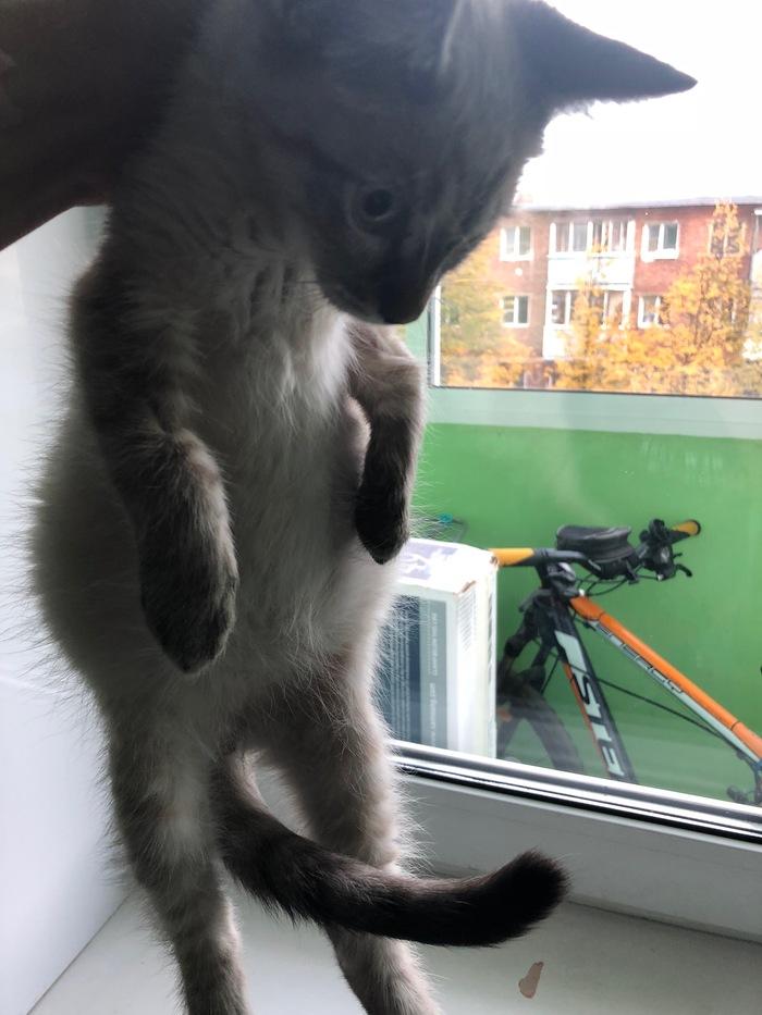 Нужна помощь. Асцит у котенка Кот, Помощь, Асцит, Длиннопост, Без рейтинга