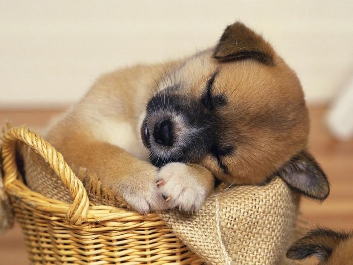 Милые пёськи Собака, Моськи, Милота, Позитив, Длиннопост