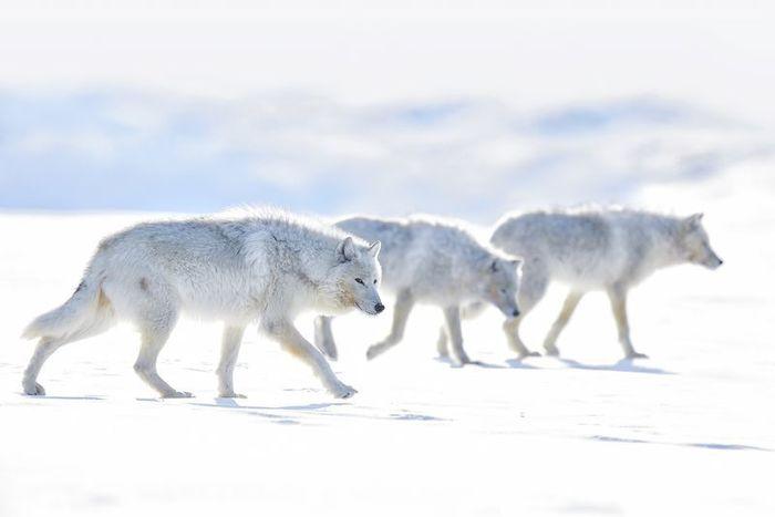 Трио - арктические волки.