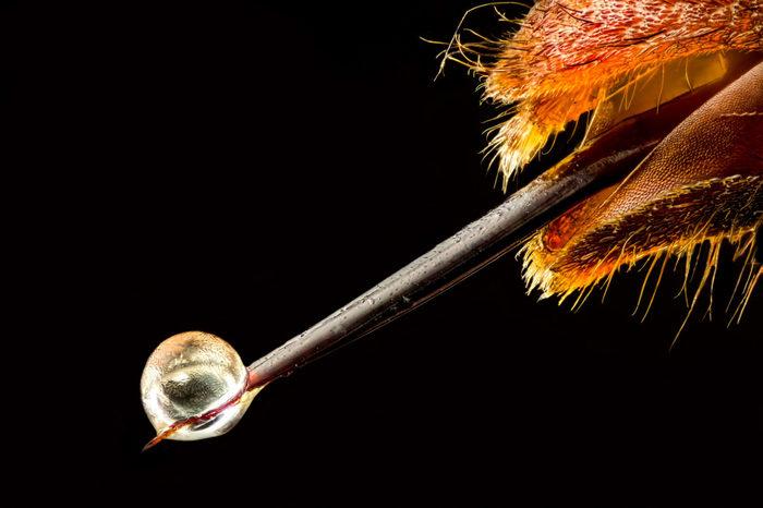 Капелька яда Макросъемка, Конкурс микрофотографий Nikon, Яд, Насекомые, Жало, Фотография