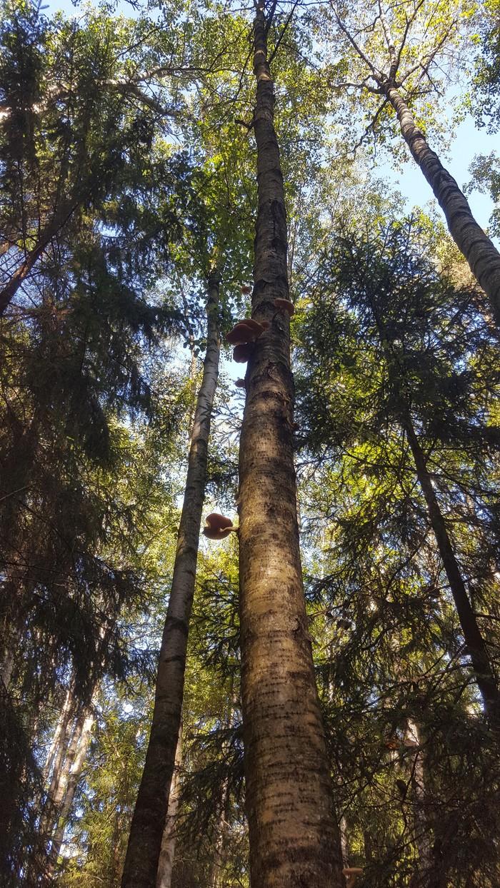 Опята на деревьях. Опята, Грибы, Тихая охота, Длиннопост