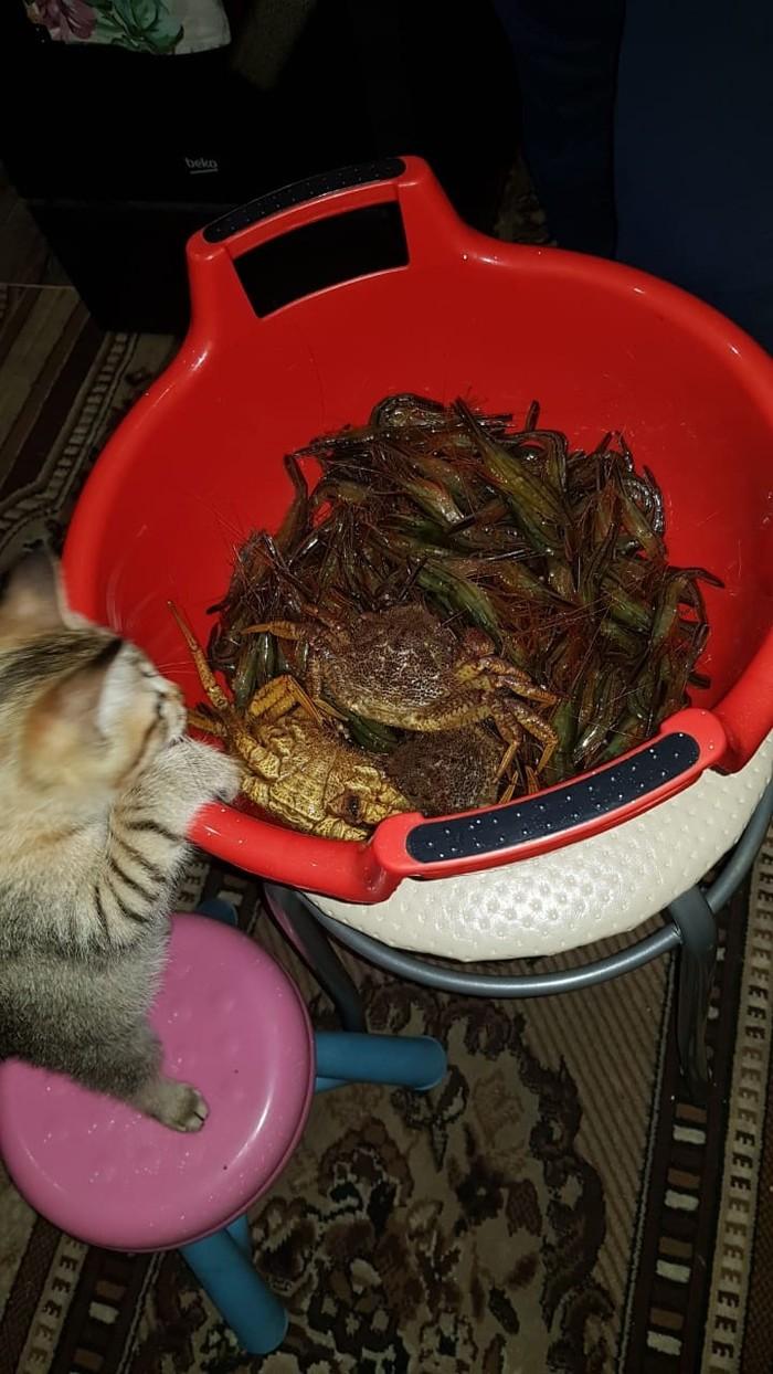 Любопытный котенок. Курильский бобтейл, Кот, Любопытство, Длиннопост