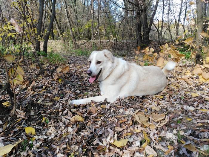 Осенний пёс Собака, Москва, Лосиный остров, Осень, Тепло, Видео, Длиннопост