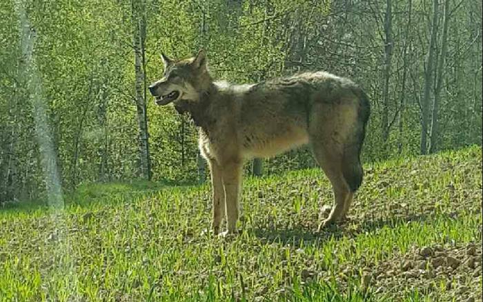 В Украине убили белорусского волка-эмигранта Михася Волк, Эмиграция, Беларусь, Украина