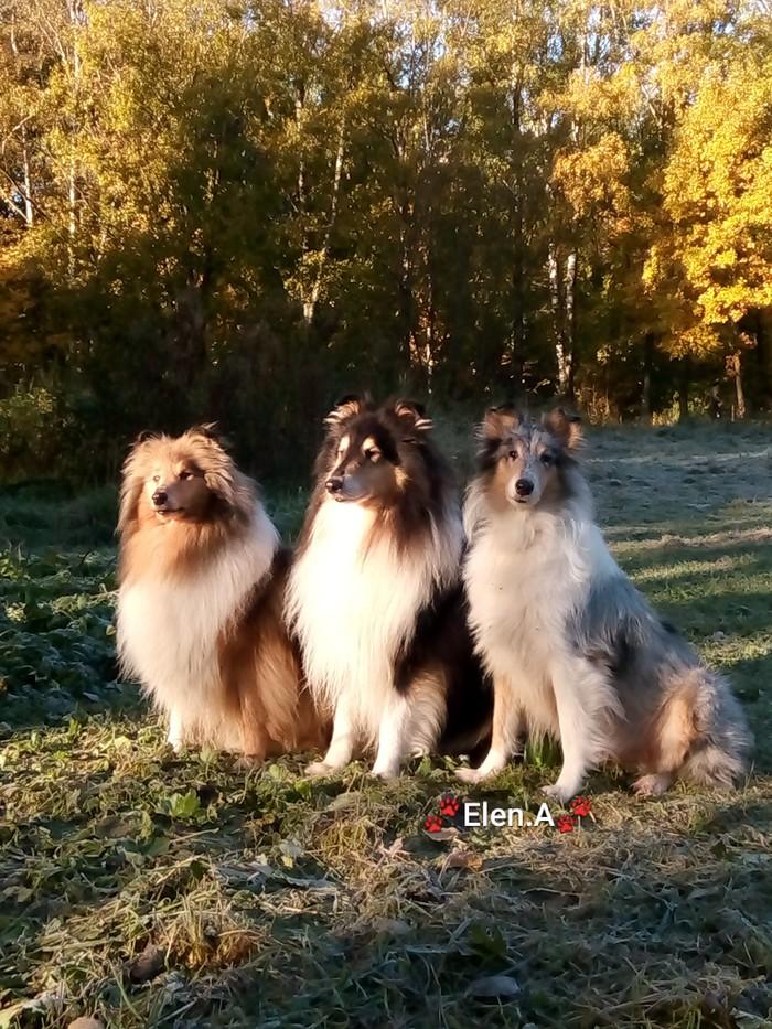 Осень осень Домашние животные, Колли, Щенки, Собака, Собачьи будни, Длиннопост
