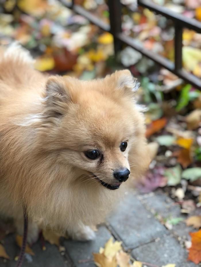 Осенний пес Осень, Шпиц, Собака, Фотография, Длиннопост