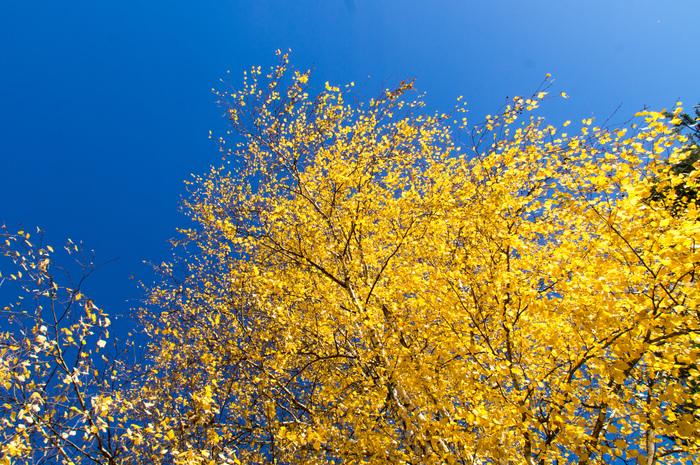 Золотая осень пришла. Осень, Золотые листья, Длиннопост