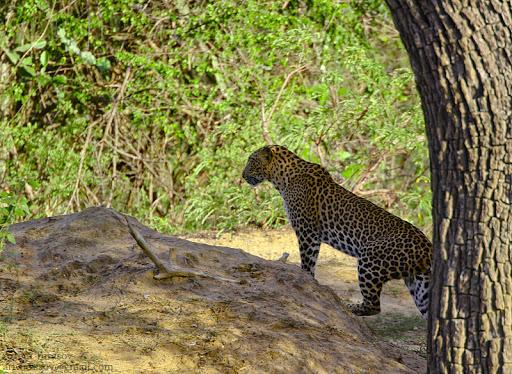 Цейлонский леопард - Sri Lankan Leopard. Леопард, Шри-Ланка, Длиннопост